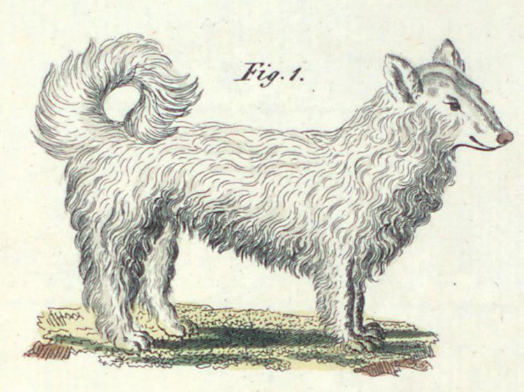 Der Spitz oder Wolfshund